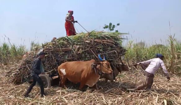 Sugarcane cutting and travelling #Part -45